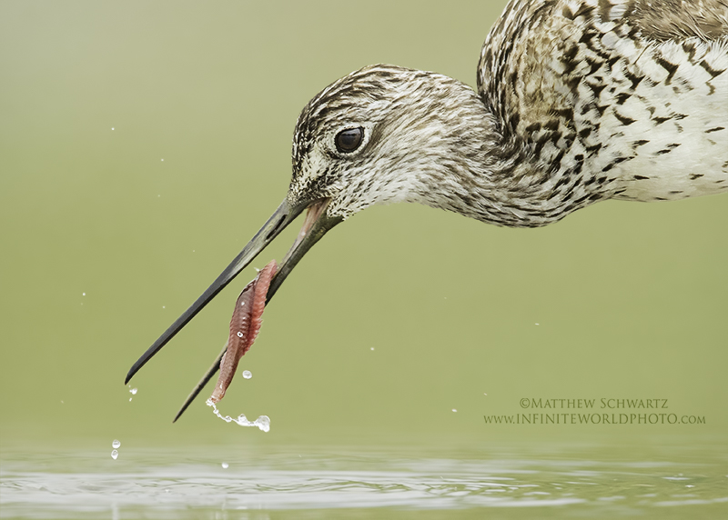 Yellowlegs with sand worm - Copyright Matthew Schwartz