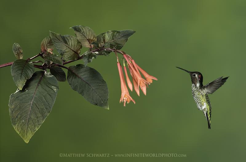 Annas Hummingbird at fuschia - Copyright Matthew Schwartz