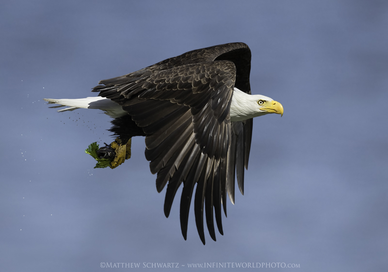 Bald Eagle - Haliaeetus leucocephalus - with Midshipman fish - Copyright Matthew Schwartz