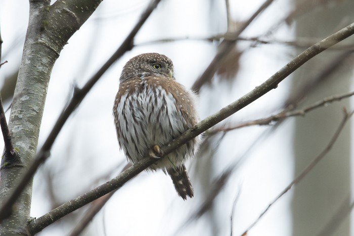Northern Pygmy Owl with bad background