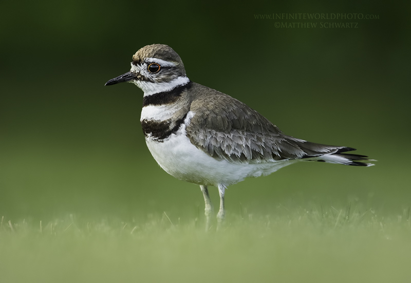 A killdeer surveys its territory